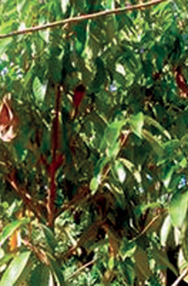 Olejek eteryczny na bazie palisanderu