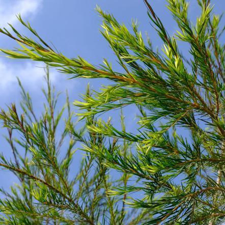 Lakshmi olejek eteryczny z drzewa herbacianego