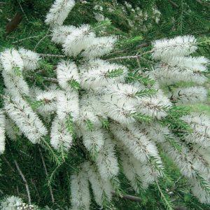 Olejek eteryczny TEA TREE - drzewo herbaciane - Australia