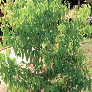 Olejek eteryczny CYNAMONOWIEC - CINNAMON - Madagaskar